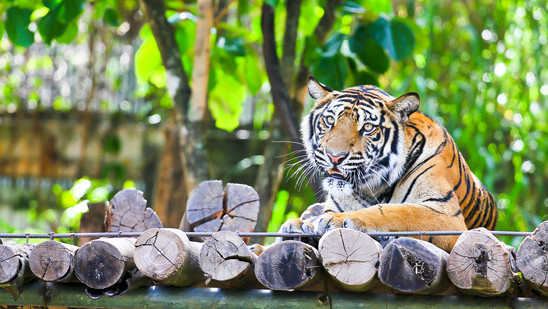The Tiger Kingdom, Chiang Mai: Your Ultimate Tiger Experience