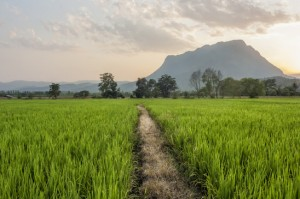 Path Through the Rice Fields